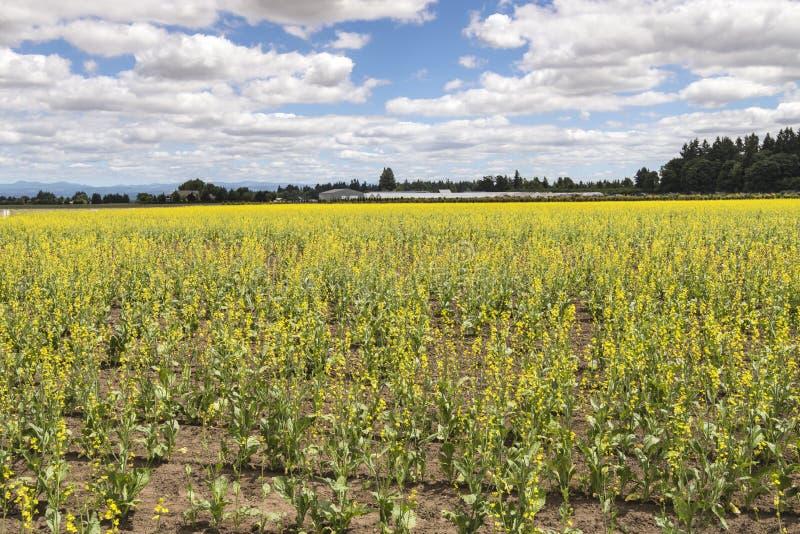Yellow flowers Willamette valley Oregon. Field of yellow flowered plants Willamette Valley Oregon royalty free stock image