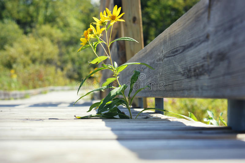 Yellow Flowers Wooden Boardwalk stock photography