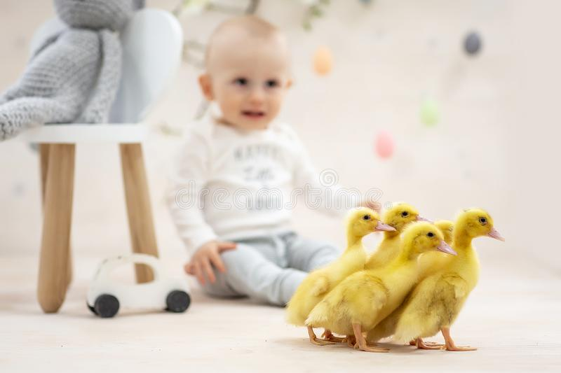 Yellow fluffy ducklings. Easter composition. Cute boy play with real duckling. toddler boy playing with animal. Happy easter. Concept stock photography