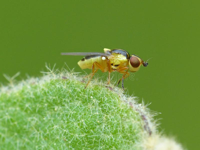 Yellow Fly On A Fuzzy Plant. Closeup of a yellow fly on a fuzzy plant stem stock photos