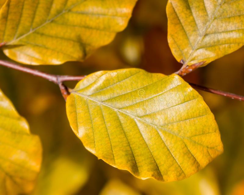Yellow foliage on the branch fall days. Yellow foliage on the branch autumn days royalty free stock photos