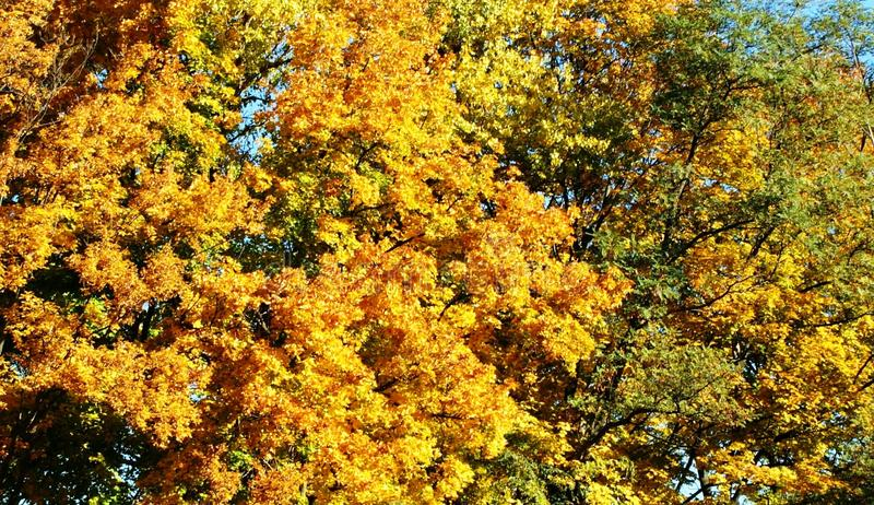 Yellow foliage - real decoration of trees. royalty free stock photos