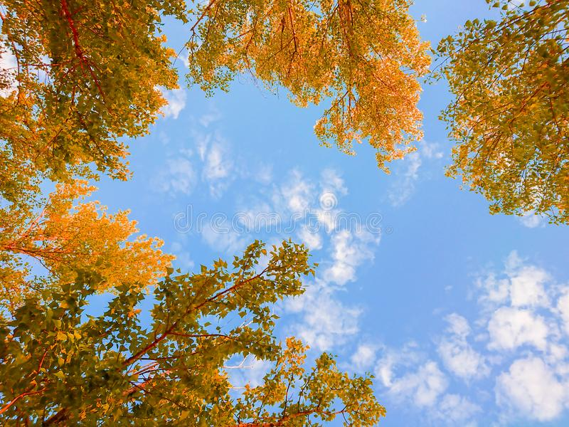 Yellow foliage of trees against the blue sky and clouds. Sunny day. Indian summer.  royalty free stock images