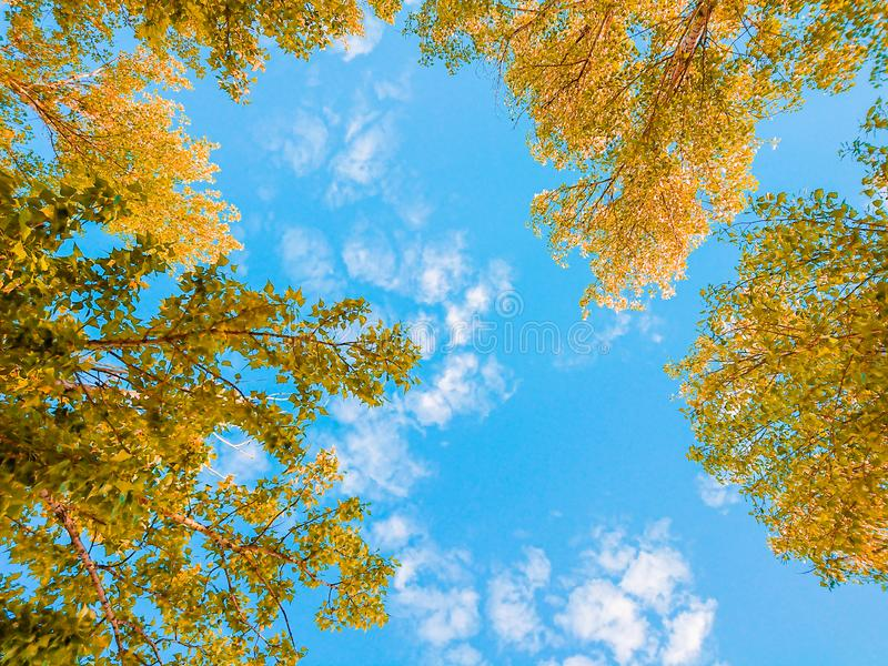 Yellow foliage of trees against the blue sky and clouds. Sunny day. Indian summer.  royalty free stock photo