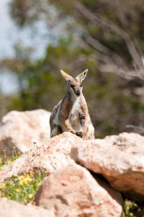 Download Yellow footed rock wallaby stock photo. Image of nature - 23408212