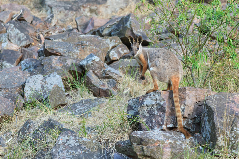 Download Yellow footed rock wallaby stock image. Image of face - 83702379