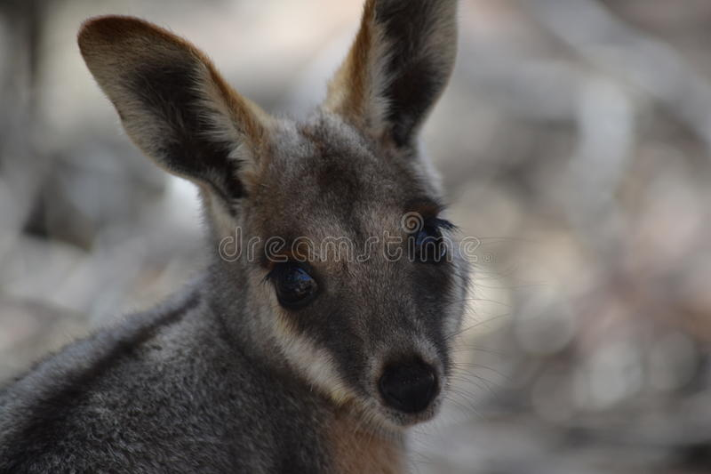 Yellow Footed Rock Wallaby, Wilpena Pound. At Wilpena Pound we were told to be on the lookout for the rare Yellow Footed Rock Wallaby. On a walk one day we heard royalty free stock photo