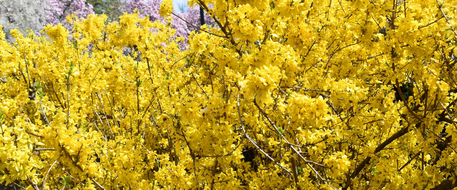Yellow Forsythia Bush In Bloom Stock Photo Image Of Delicate