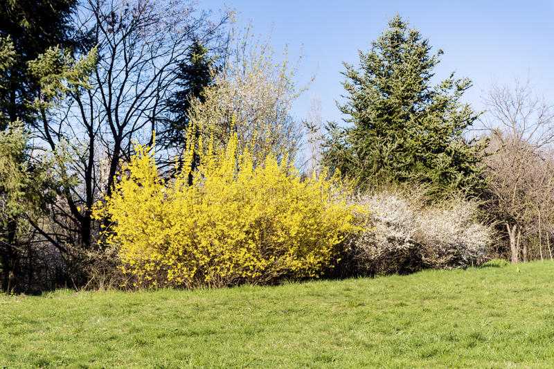 Yellow forsythia flowers in a spring park. Yellow forsythia bush in a spring park royalty free stock images