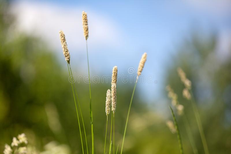 Yellow foxtail grass or Setaria glauca spikes on blue sky, green field and trees blurred background close up, wild weed ear grass stock photos