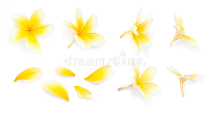 Yellow frangipani flower set with Petals on white background from different angles. Useful for design of wedding invitation or rom stock photo