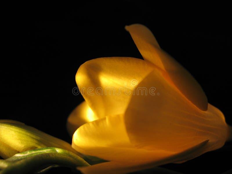Yellow freesia. On a black backround stock photos