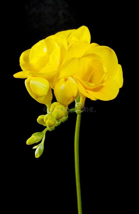 Yellow freesia flower on a black. Background stock photos