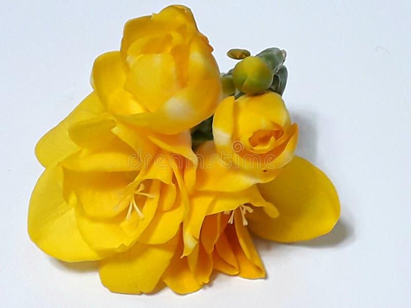 Yellow Freesia royalty free stock image
