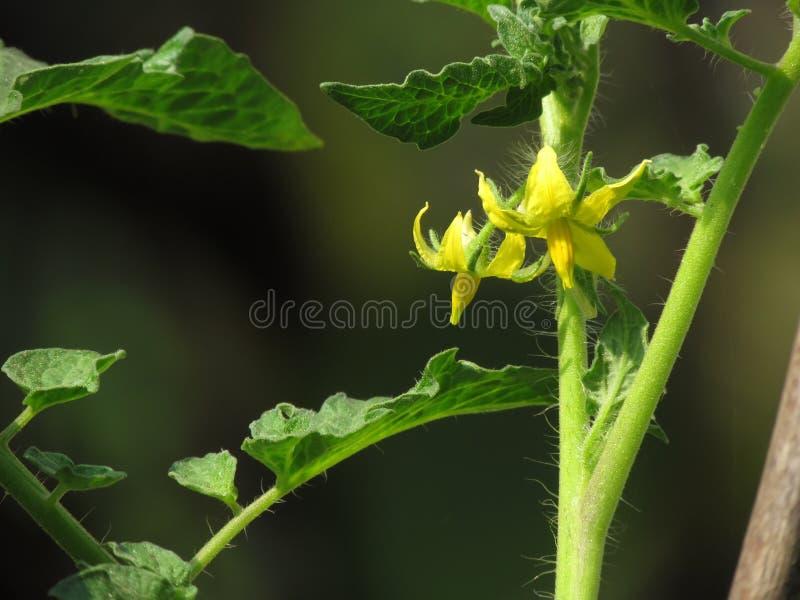 Yellow fresh flowers on a tomato plant royalty free stock photos