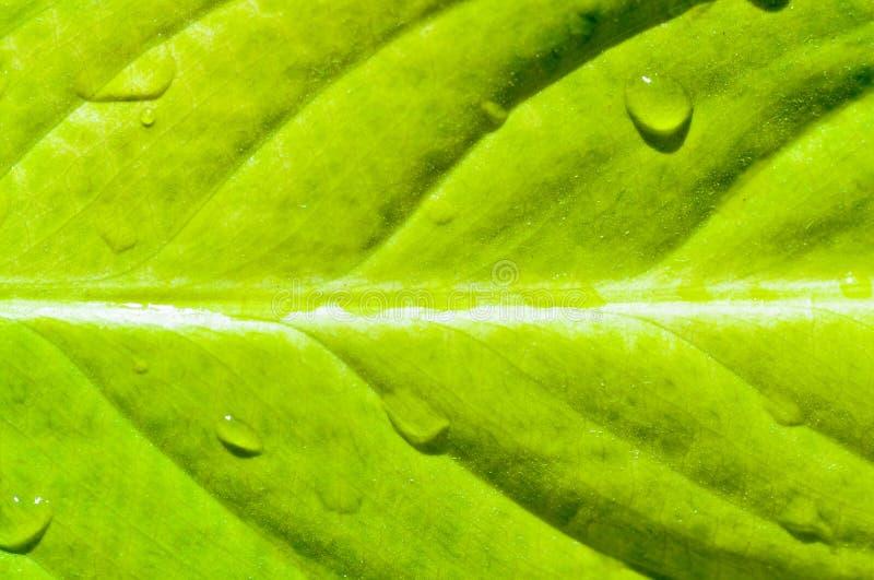 Yellow Fresh Leaf Royalty Free Stock Image