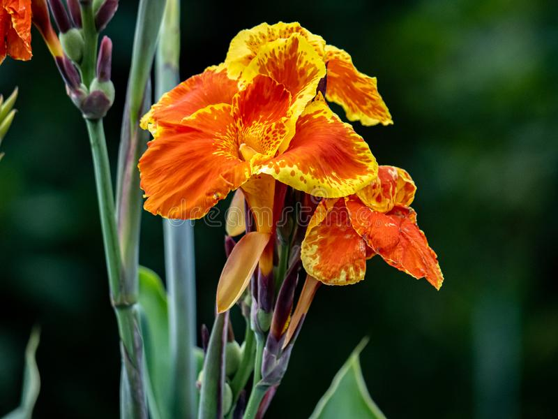 Yellow fringed orange canna lillies in bloom. Yellow fringed orange canna lillies bloom in a Japanese garden stock images