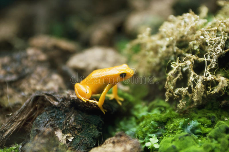 Yellow frog on stone. Yellow frog standing on stone stock image