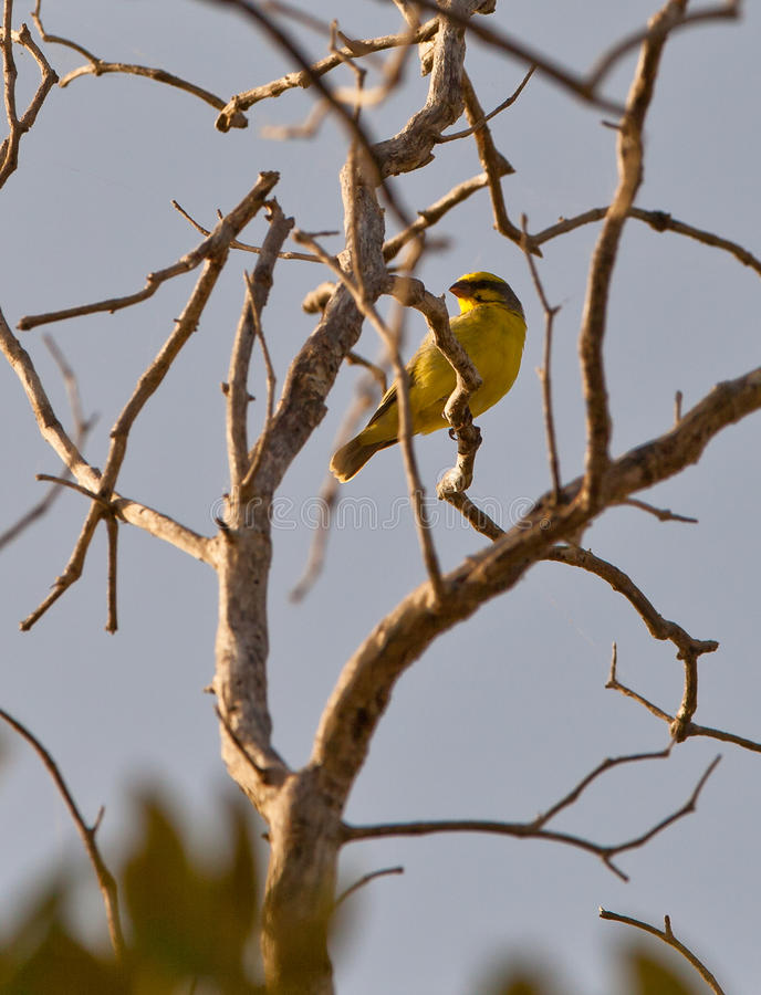 Download Yellow-fronted Canary stock image. Image of fauna, equator - 25037001