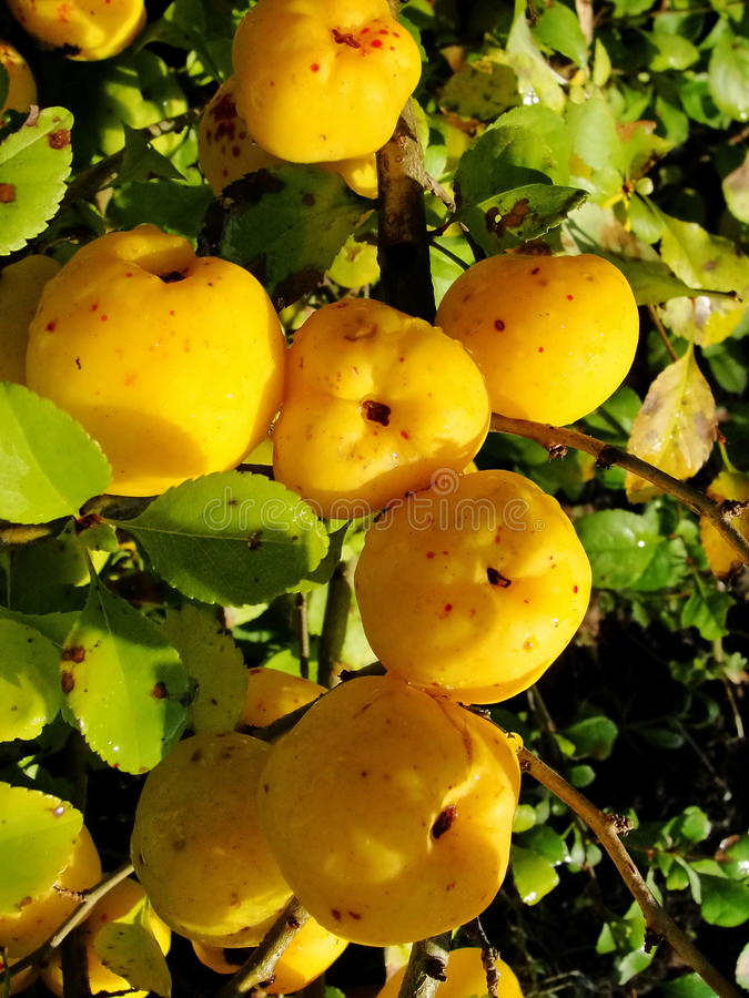Yellow fruits of japanese quince garland on branches of a bush. Quince honey yellow gold. yellow fruit japanese ( oriental ) quince growing garland and hidden by royalty free stock photos