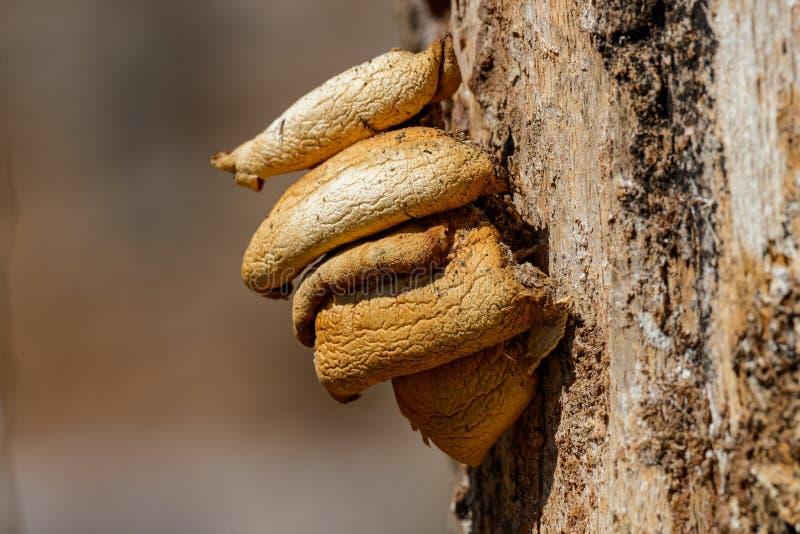Yellow fungus. Parasite on a tree close-up royalty free stock photos