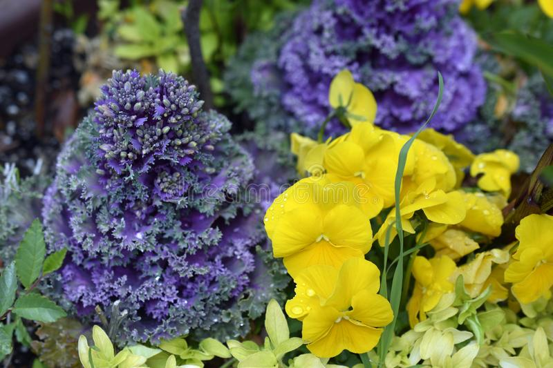 Yellow Garden Pansies and Kale. Photographed after a short, very warm summer rain. Weather was calm so all the rain drops just stayed in place royalty free stock photos