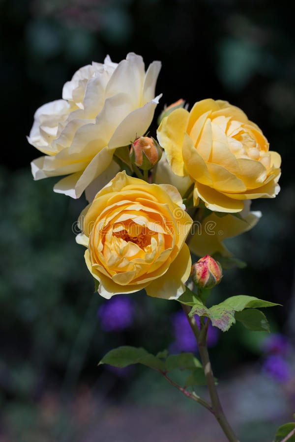 Yellow garden roses. On a sunny day royalty free stock images