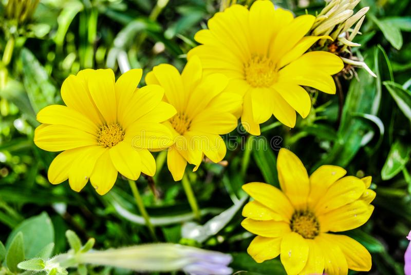 Yellow Gazania in the garden. Beautiful flower of yellow gazania. Photo is suitable for stories about flowers and plants royalty free stock photography