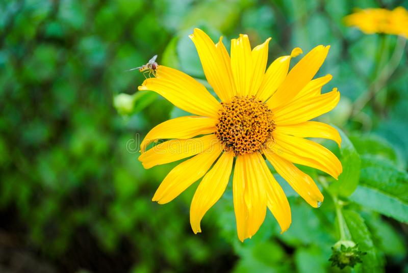 Yellow gazania in the garden with a wasp. Beautiful flower of yellow gazania with a wasp. Photo is suitable for stories about flowers and plants royalty free stock photo