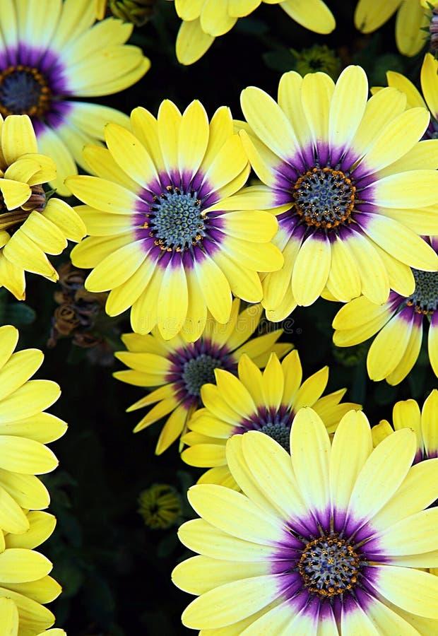 Yellow gazania. Top view of yellow gazania with purple pollen royalty free stock image