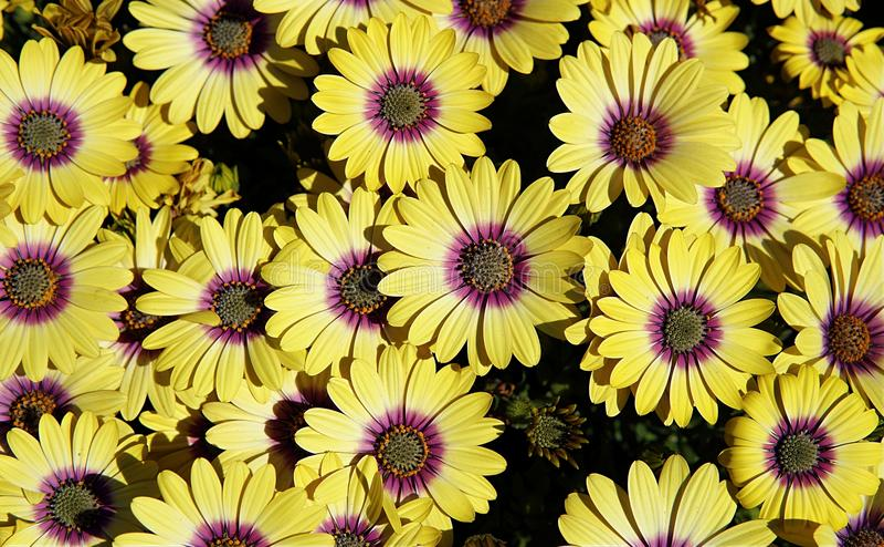 Yellow gazania. Top view of yellow gazania with purple pollen stock photo