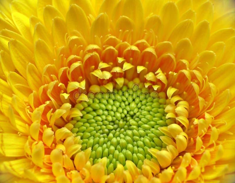 Yellow gerber close-up stock image