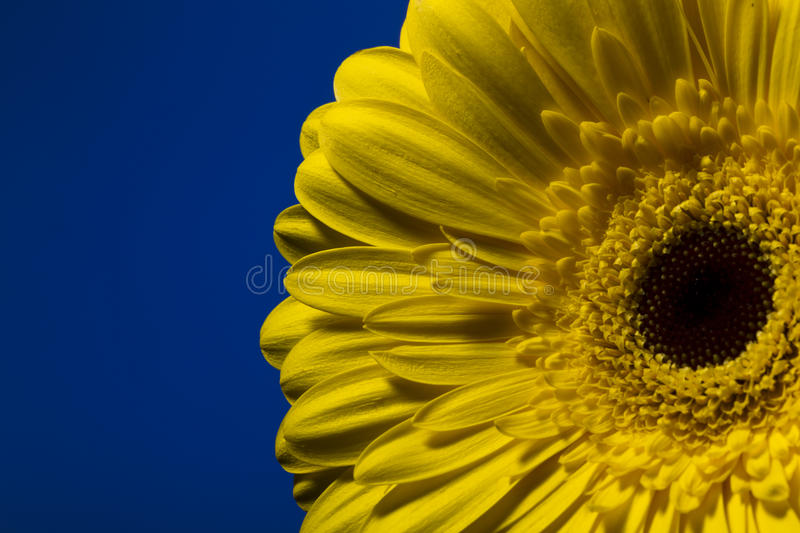 Yellow gerber on the color background. Yellow gerber on a colored background, studio lighting royalty free stock images