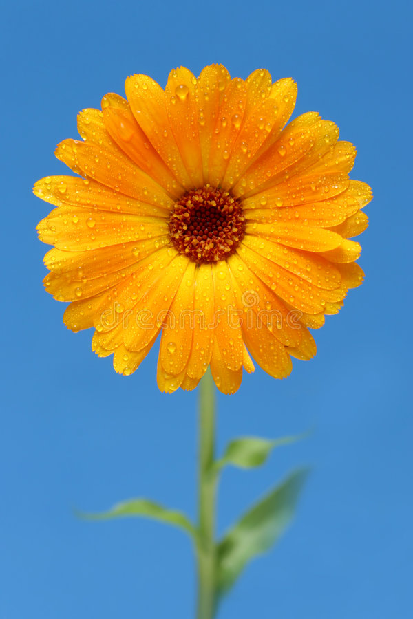 Yellow gerber daisy stock images
