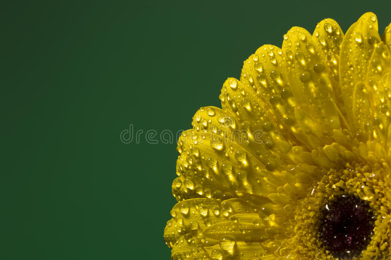 Yellow gerber with drops of water on a colorful background royalty free stock photo