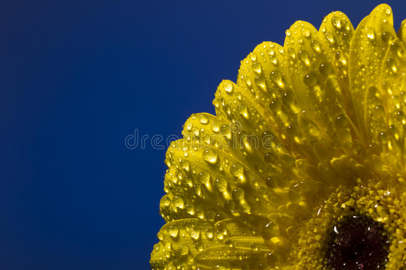 Yellow gerber with drops of water on a colorful background stock images
