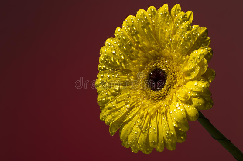 Yellow gerber with drops of water on a colorful background royalty free stock images