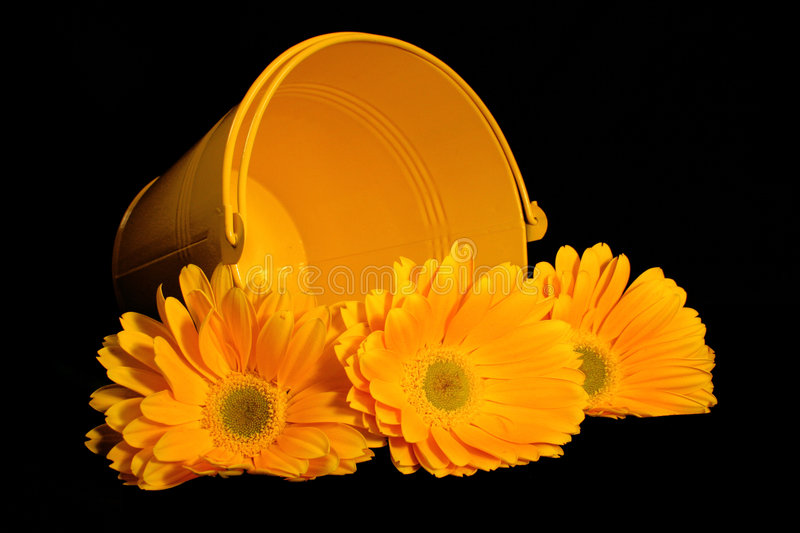 Yellow Gerber Pail. Three yellow gerber daisies in a pail stock photo
