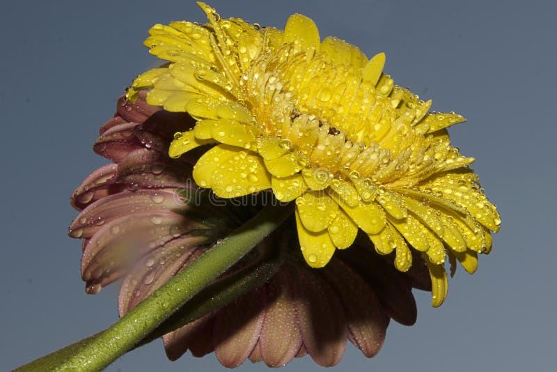 Download Yellow Gerber Stock Photo - Image: 83702726