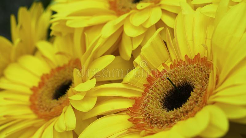 Yellow gerber and small decorative white flowers stock photos