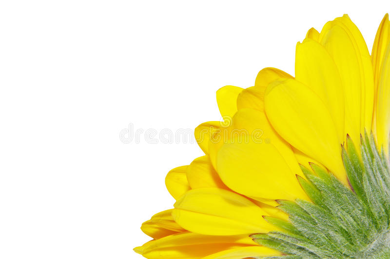 Yellow Gerbera Daisy stock photography