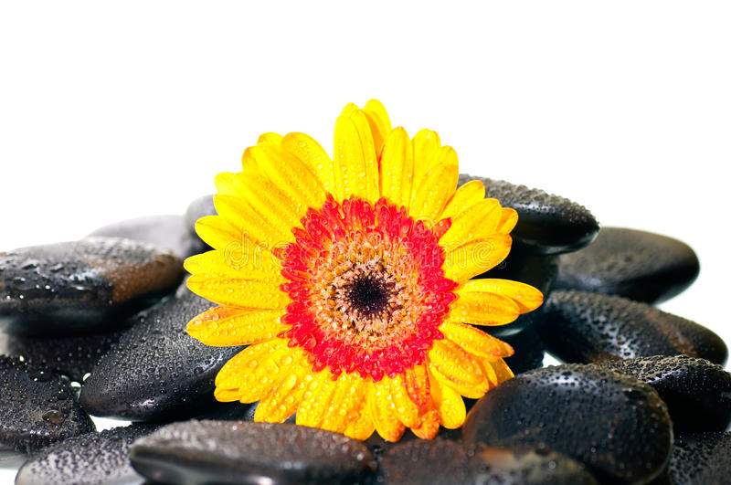 Yellow Gerbera Flower On Black Zen Stone Close Up Royalty Free Stock Images