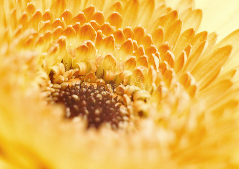Yellow gerbera flower on blue background royalty free stock photo