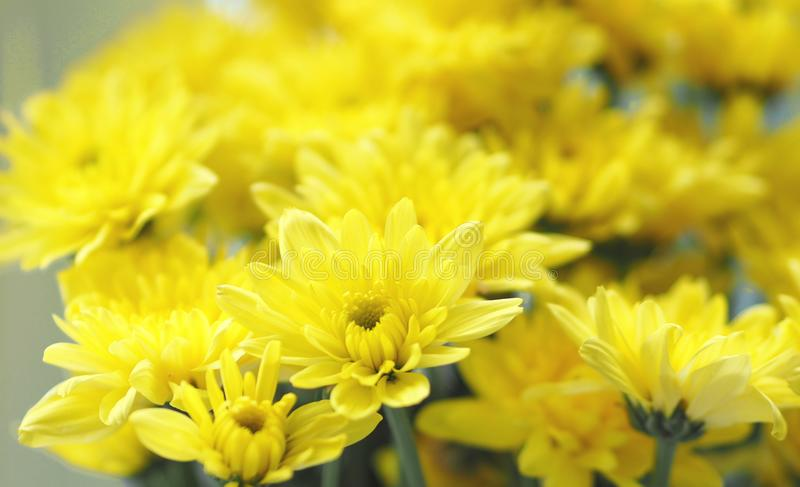 Yellow Gerbera flower bouquet beautiful, bright, durable and last a long time royalty free stock photo