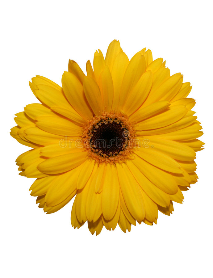 Yellow gerbera flower isolated stock photos