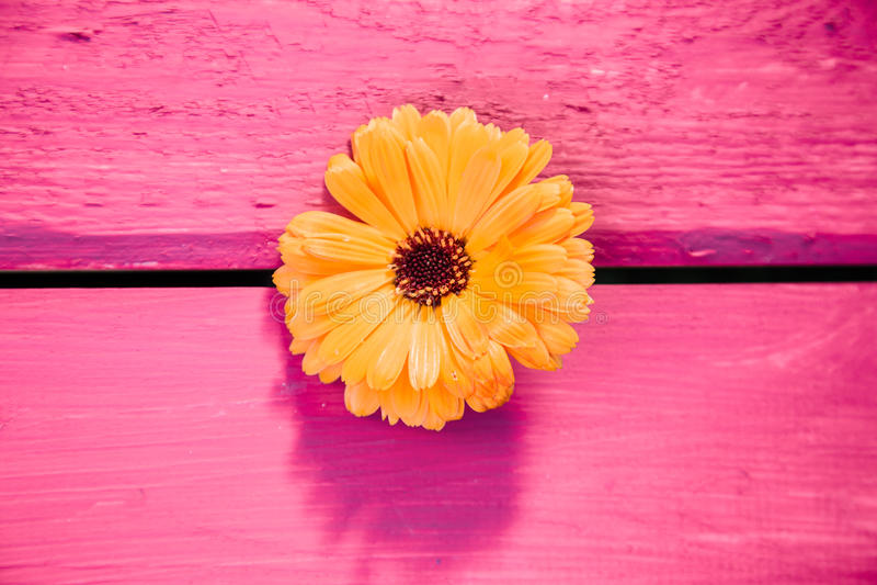 Yellow gerbera flower, symbol of delicacy