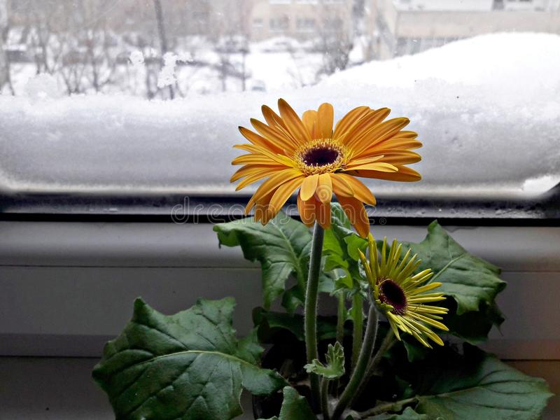 Yellow Gerbera flowers in a pot stock images
