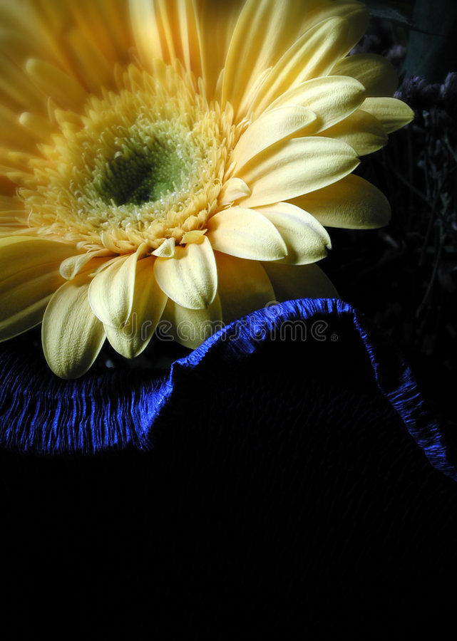 Yellow gerbera in shadow stock photography