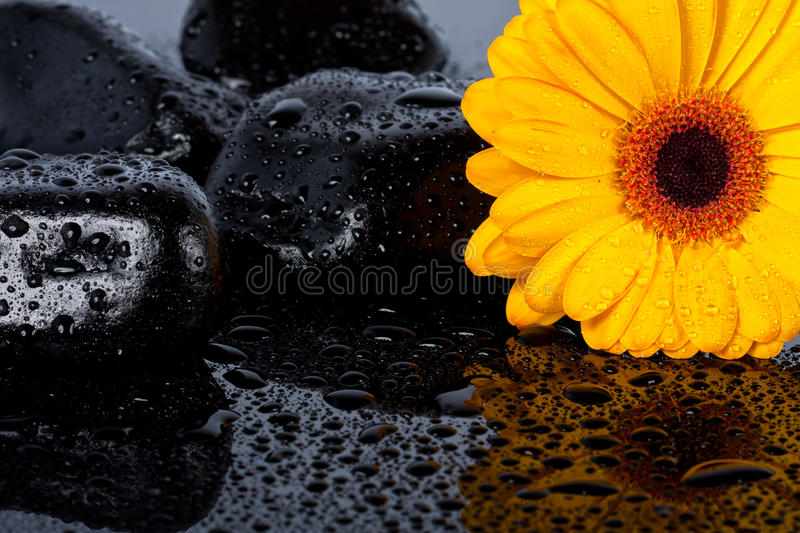 Yellow gergia on wet surface