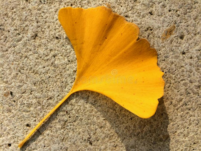 Yellow gingko biloba leaf on the concrete pavement tile royalty free stock images